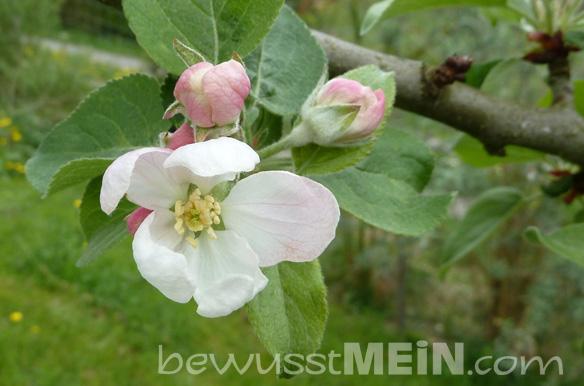 apfelblüte_naturkalender